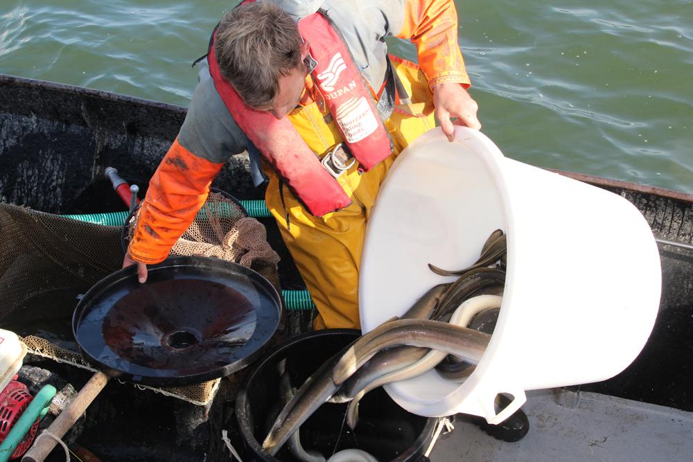Decentraal aalbeheer in Friesland formeel onderdeel van het Nederlands Beheerplan Aal