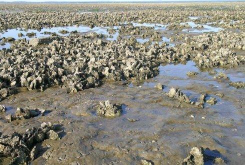 Duidelijkheid in regelgeving oesters rapen