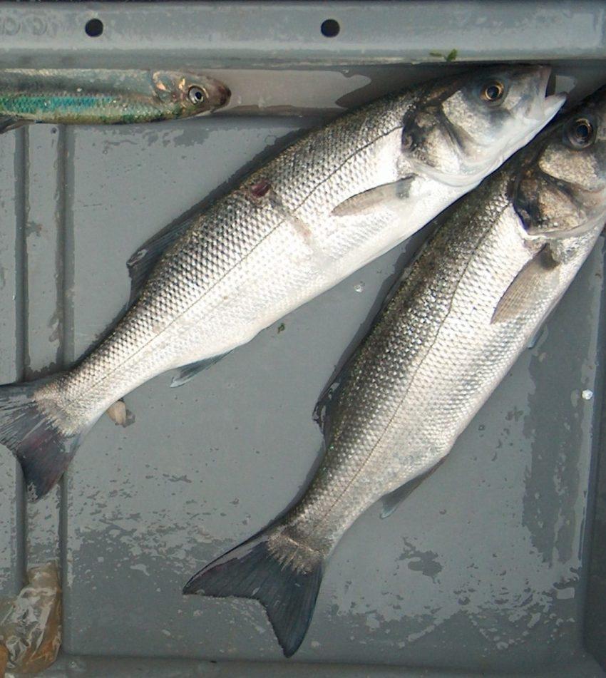 Lobby voor de kleinschalige visserij op zeebaars.