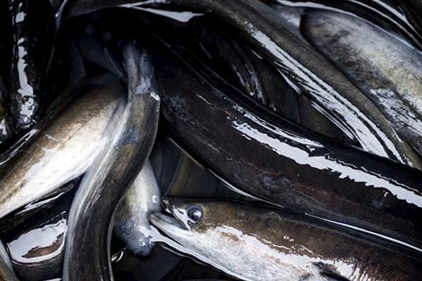 Palingvissers mogen doorgaan met visserij in De Wieden en Giethoornsche Meer